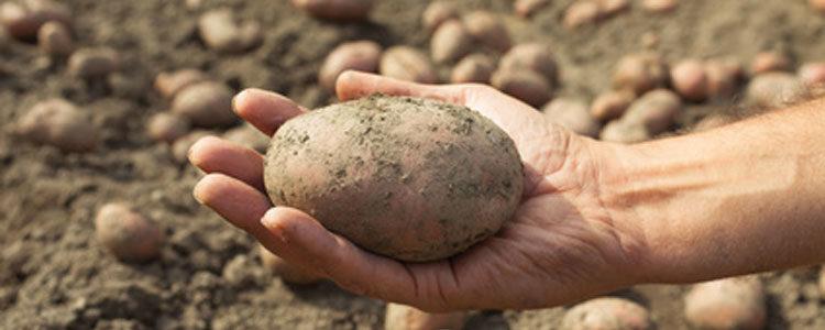 La patata, il tubero per eccellenza