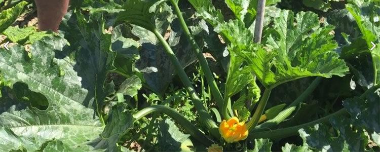 Consigli per la coltivazione dello zucchino