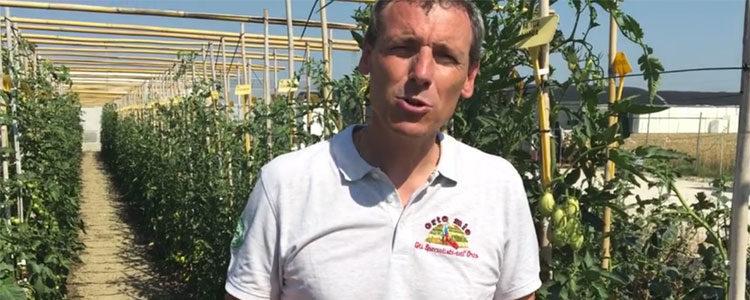 Il marciume apicale del pomodoro